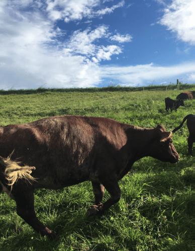 Cowsgrazing